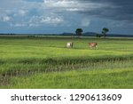 farmer rice field with cow | Shutterstock . vector #1290613609