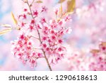 pink cherry blossom  beautiful... | Shutterstock . vector #1290618613