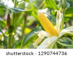 Ear Of Yellow Corn With The...