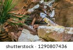 central bearded dragon lizard... | Shutterstock . vector #1290807436