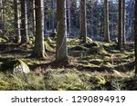 tree trunks in a sunlit mossy... | Shutterstock . vector #1290894919