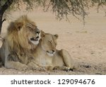 African Lion  Panthera Leo  An...
