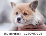 Stock photo welsh corgi pembroke little cute puppy on hands carried 1290957103