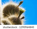 flowering gigantic cactus on... | Shutterstock . vector #1290964840