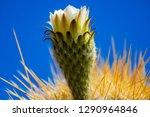 flowering gigantic cactus on... | Shutterstock . vector #1290964846