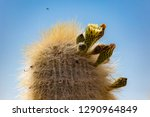 flowering gigantic cactus on... | Shutterstock . vector #1290964849