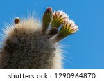 flowering gigantic cactus on... | Shutterstock . vector #1290964870
