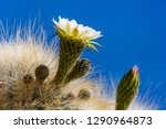 flowering gigantic cactus on... | Shutterstock . vector #1290964873