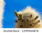 flowering gigantic cactus on... | Shutterstock . vector #1290964876