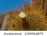 flowering gigantic cactus on... | Shutterstock . vector #1290964879
