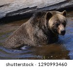 the grizzly bear also known as... | Shutterstock . vector #1290993460