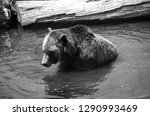 the grizzly bear also known as... | Shutterstock . vector #1290993469