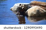 the grizzly bear also known as... | Shutterstock . vector #1290993490