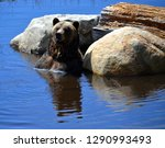 the grizzly bear also known as... | Shutterstock . vector #1290993493