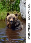the grizzly bear also known as... | Shutterstock . vector #1290993523