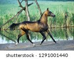 dappled buckskin akhal teke...   Shutterstock . vector #1291001440