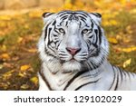 bengal white tiger on autumn... | Shutterstock . vector #129102029