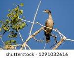 double crested cormorant... | Shutterstock . vector #1291032616