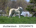 the arctic wolf  also known as... | Shutterstock . vector #1291049473
