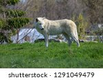 the arctic wolf  also known as... | Shutterstock . vector #1291049479