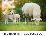 Cute Little Lambs With Sheep O...