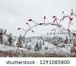 Rosebud Branch Covered In Fres...