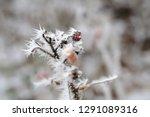 single winter berry with frozen ...   Shutterstock . vector #1291089316