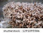 wonderful garden hedge with...   Shutterstock . vector #1291095586