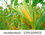 Small photo of A selective focus picture of corn cob at organic corn field.