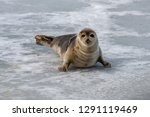 a young harp seal moves along... | Shutterstock . vector #1291119469