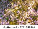 sakura  cherry blossom leaves... | Shutterstock . vector #1291137346