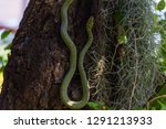 A Rat Tailed Green Rat Snake Is ...