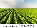 soybean field rows in summer | Shutterstock . vector #1291432699