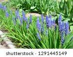 grape hyacinth flowers. blue...   Shutterstock . vector #1291445149