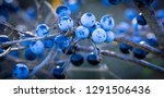 nice ripe berries on a branch... | Shutterstock . vector #1291506436