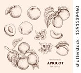vector apricots hand drawn...   Shutterstock .eps vector #1291539460