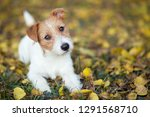 Stock photo pet training concept cute happy jack russell puppy dog looking in the grass 1291568710