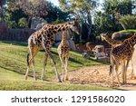 a group of giraffes  giraffa... | Shutterstock . vector #1291586020