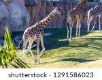 a group of giraffes  giraffa... | Shutterstock . vector #1291586023