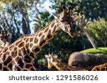 a giraffe  giraffa... | Shutterstock . vector #1291586026