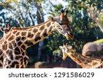 a giraffe  giraffa... | Shutterstock . vector #1291586029