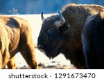 aurochs bison in nature  ... | Shutterstock . vector #1291673470