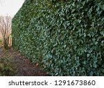 high wall of common ivy. can be ... | Shutterstock . vector #1291673860
