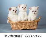 Three White British Kittens In...