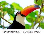 toco toucan  ramphastos toco ... | Shutterstock . vector #1291834900