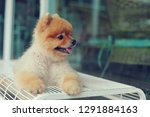 cute pomeranian dog smiling ... | Shutterstock . vector #1291884163