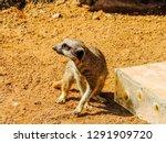 meerkat or suricate  suricata...   Shutterstock . vector #1291909720