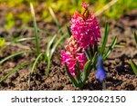 hyacinths grow blossom...   Shutterstock . vector #1292062150