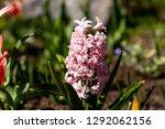 hyacinths grow blossom...   Shutterstock . vector #1292062156