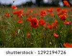 photo of beautiful poppies... | Shutterstock . vector #1292194726